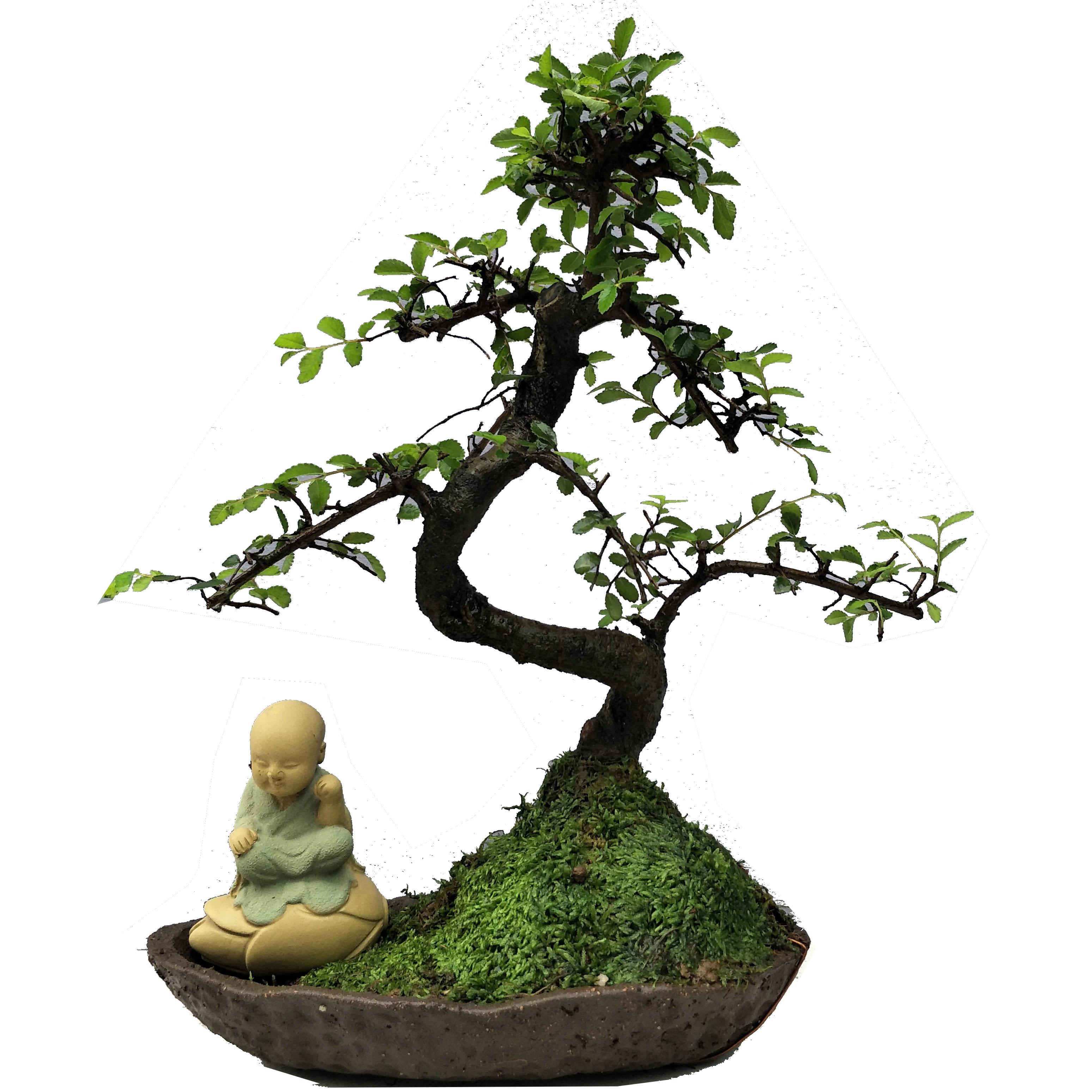 榔榆树小苗树桩小叶榆盆景疙瘩室内栽绿植极有家图片
