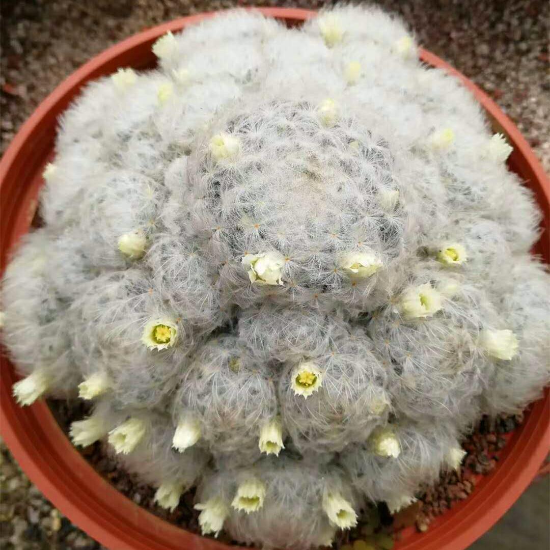 白星仙人球_实生白星群仙人球多肉植物白色仙人掌群生植物盆栽开花毛