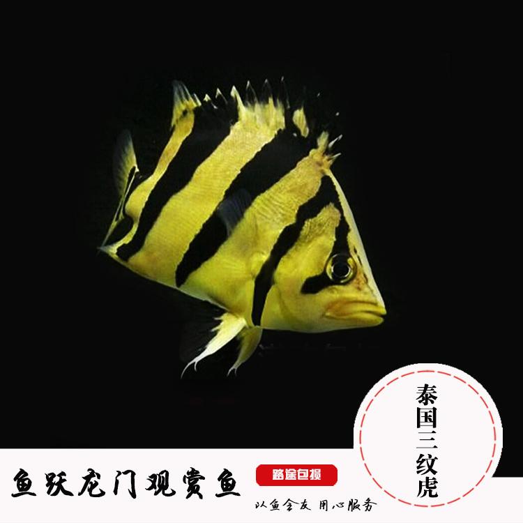 热带观赏鱼印尼虎粗三纹印尼四纹虎老虎鱼泰国虎 泰北虎三纹虎鱼