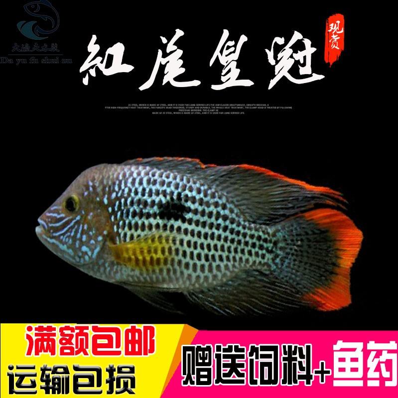 热带观赏鱼红尾皇冠鱼蓝宝石蓝面财神活体大型鱼慈鲷渔场直销