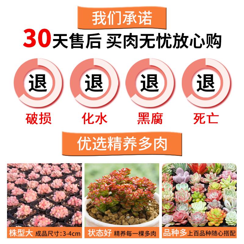卉吉多肉植物精养套餐 多肉 肉肉植物组合盆栽多肉园艺花卉生石花