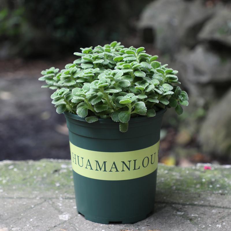 碰碰香盆栽提神醒脑室内一抹香清香植物学生必备驱蚊绿植净化空气