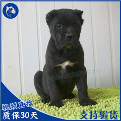 纯种卡斯罗犬出售 巨型护卫犬 卡斯罗幼犬活体出售名犬发货