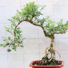 边六月雪赤楠罗汉松小叶榆树桩绿宝对节白蜡提根盆景盆栽老桩