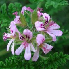 香草植物驱蚊草苗室内盆栽花苗神奇驱蚊夏季不在怕蚊子咬观叶花卉