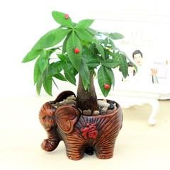 桌面绿植盆栽富贵竹发财树九里香文竹滴水观音盆景绿色植物不带盆