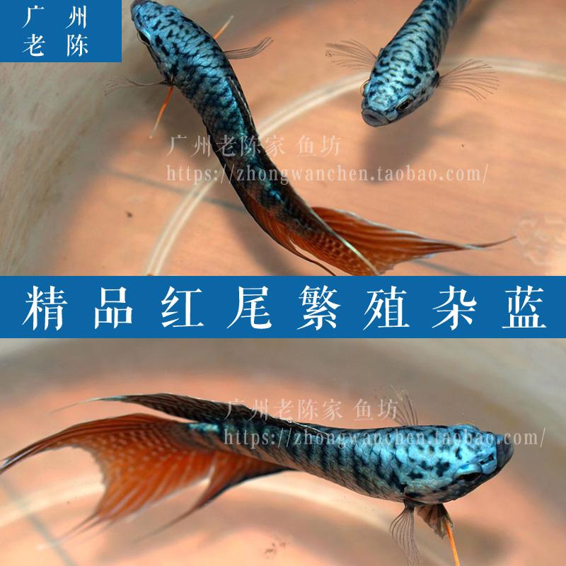 中国野生蓝叉斗鱼活体 普叉 叉尾斗鱼 彭尼婆盘皮丝花手巾旁皮婆