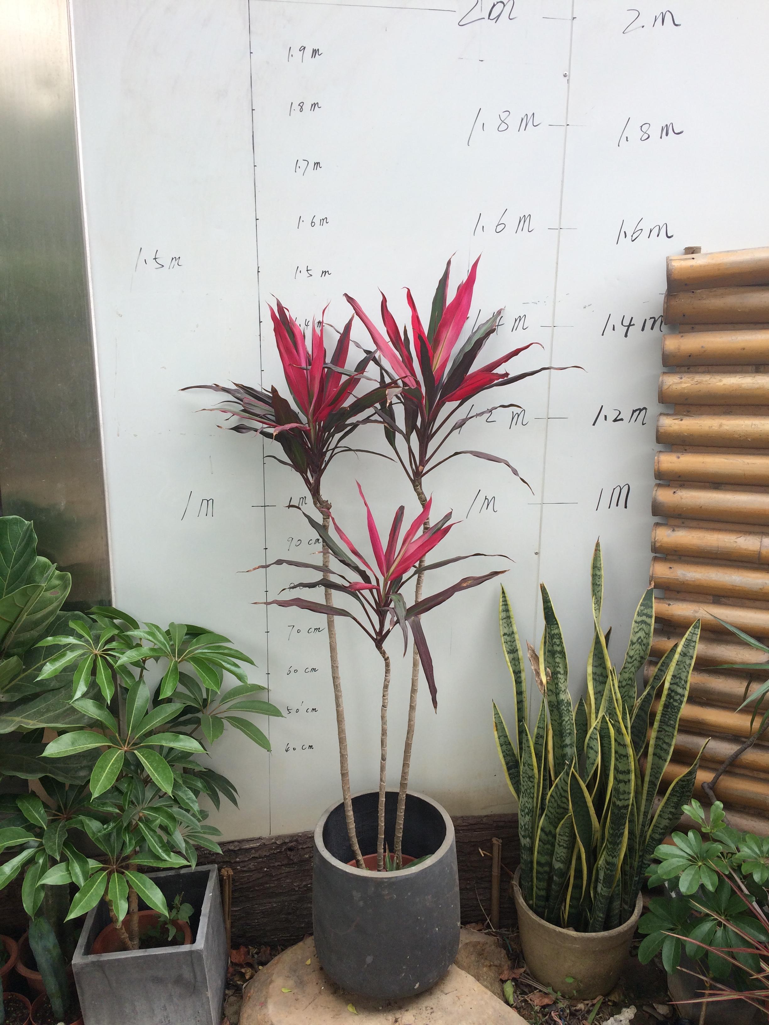 琼阳园艺 老桩孔雀红铁 红竹 紫叶 富贵竹 水培庭院花卉植物 盆栽