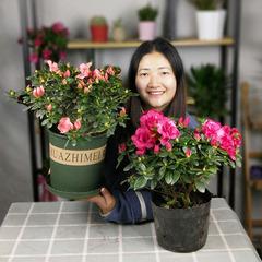 四季杜鹃花盆栽大苗重瓣红山茶大颗特大比利时映山红毛娟造型园艺