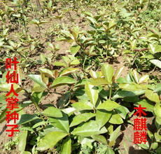 Leaf cactus species, wood unicorn species, leaf fairy seedling, grafting, crab claw orchid, rootstock, leaf fairy
