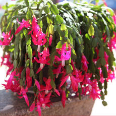 Imported multi-color new crab claw orchid potted seedlings grafted with roots with flowers indoor four seasons flowering plants and flowers