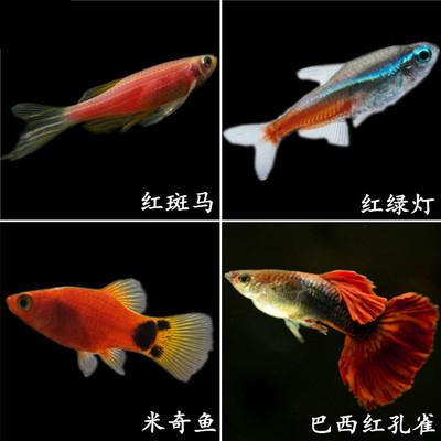 纯种孔雀鱼活体鱼苗幼苗可繁殖迷你小型观赏鱼热带鱼淡水好养包邮