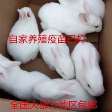 White trumpet feeding pet rabbit living small family raising small animal cub lively meat rabbit living thing white rabbit