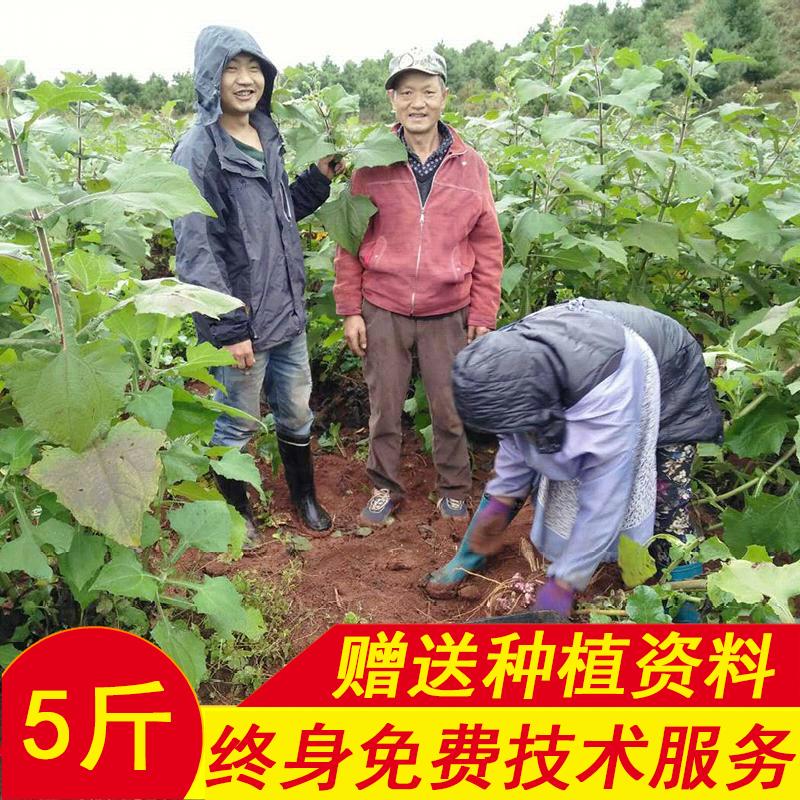 天山雪莲果种子种球5斤雪连果种子苗云南红色黄心新鲜水果促销