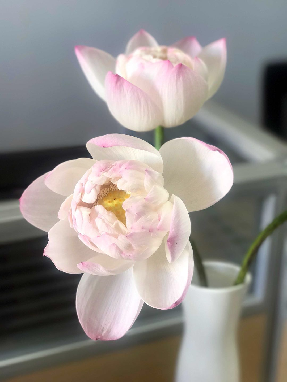 太空莲荷花莲花苞真花鲜花花骨朵莲子莲蓬插花装饰装饰办公室
