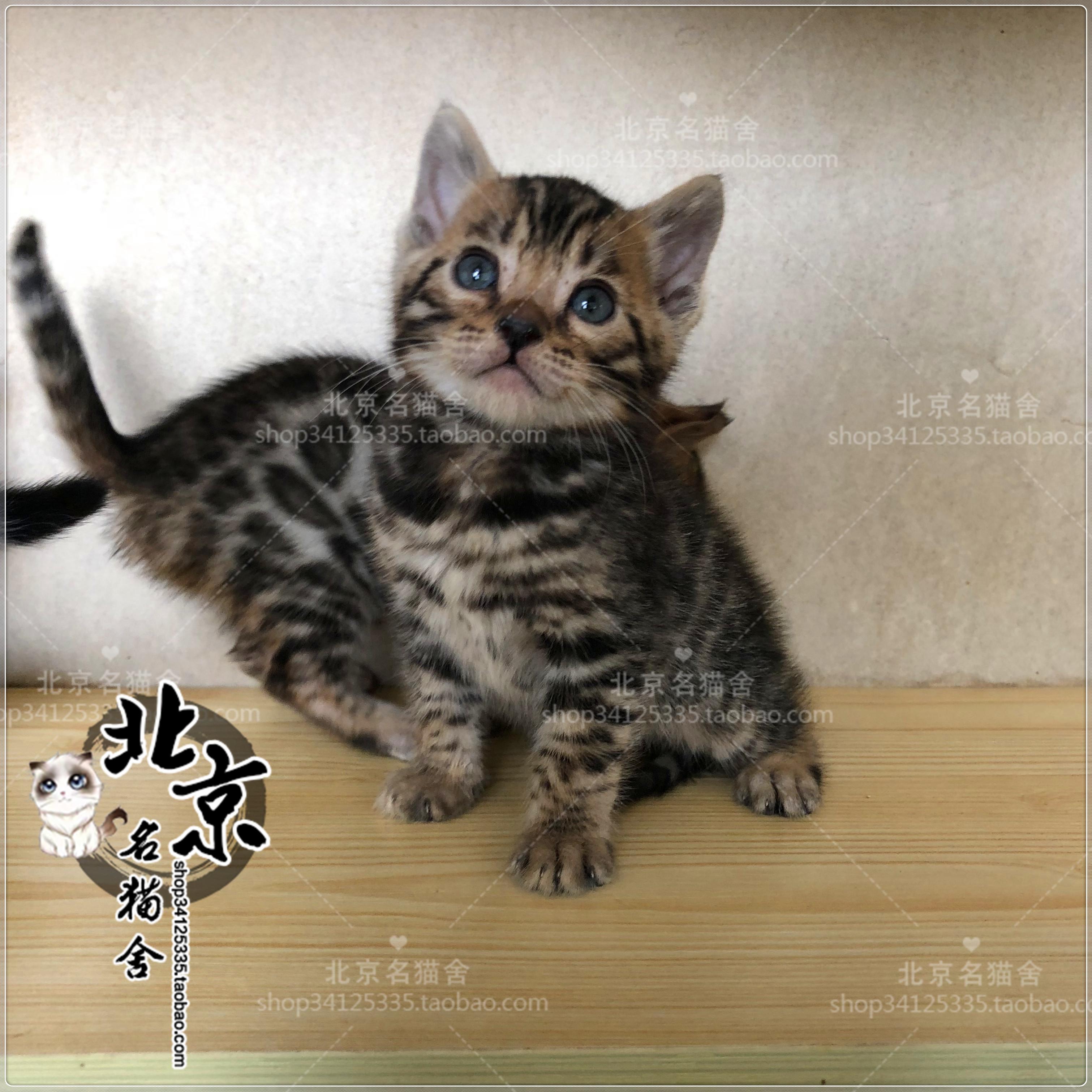 纯种豹猫活体幼猫孟加拉豹猫金钱豹雪豹宠物猫咪北京出售布偶猫