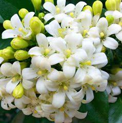 新品九里香七里香花树苗植物室内盆栽带花四季浓香驱蚊虫绿植包邮