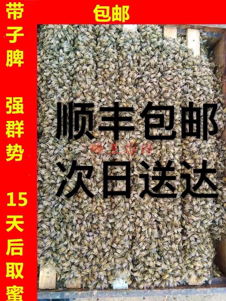 意蜂群单脾一脾意蜂王产卵王意大利蜂群蜂疗 授粉蜂群包邮包活