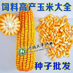 大田种植杂交玉米种子 高产大穗抗病国审玉米中科11郑丹958春夏播