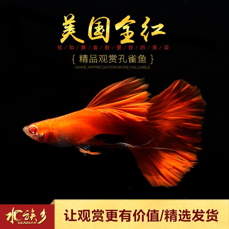 [水族乡]美国全红精品孔雀鱼 热带淡水观赏缎带白子大凤尾鱼活体