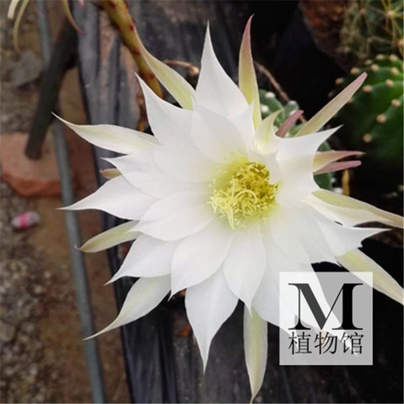【m植物馆】多肉植物自根仙人球王冠短毛丸大花