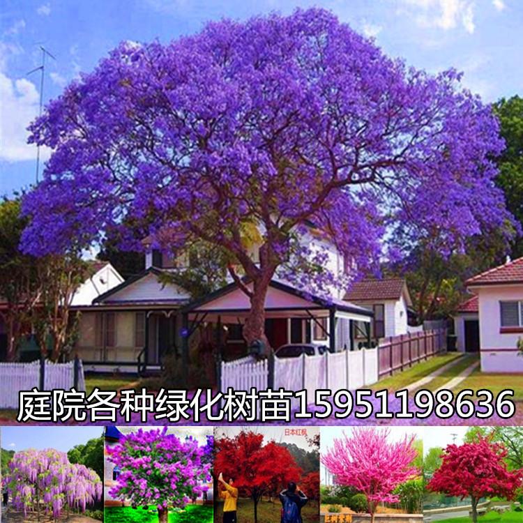 庭院绿化树苗 地栽盆栽植物 丁香花树苗 蓝花楹 海棠树苗四季开花