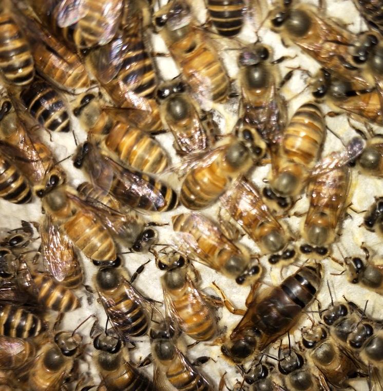 黑蜂处王杂交种繁殖中蜂优质种蜂王中蜂王良种中峰产卵蜜蜂仓王
