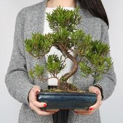 园艺盆景树桩赤楠福建茶罗汉松女贞雀梅造型植物四季常青绿植