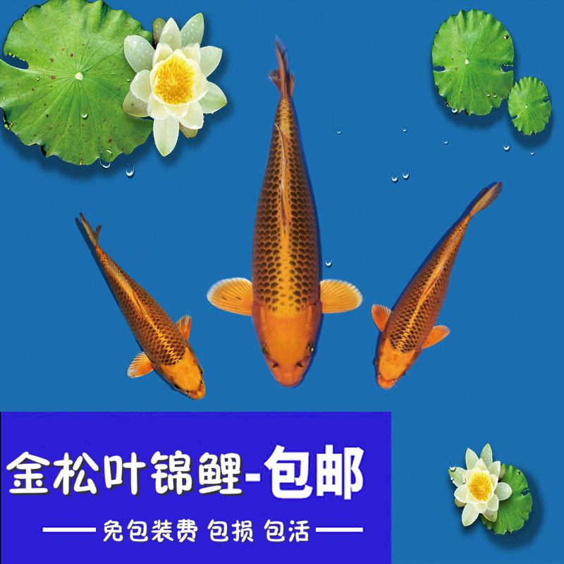 纯种日本锦鲤后代金松叶纯松叶锦鲤活体锦鲤鱼苗。36元起全国包邮