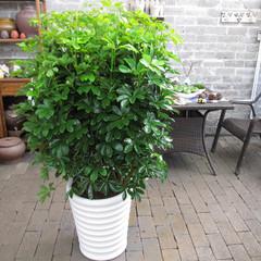 八方来财鸭脚木 鸭掌木鹅掌柴 办公室内客厅大型绿色植物花卉盆栽