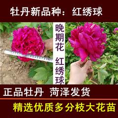 牡丹红绣球紫绣球牡丹花苗菏泽包邮发货大苗植物盆栽当年阳台正宗