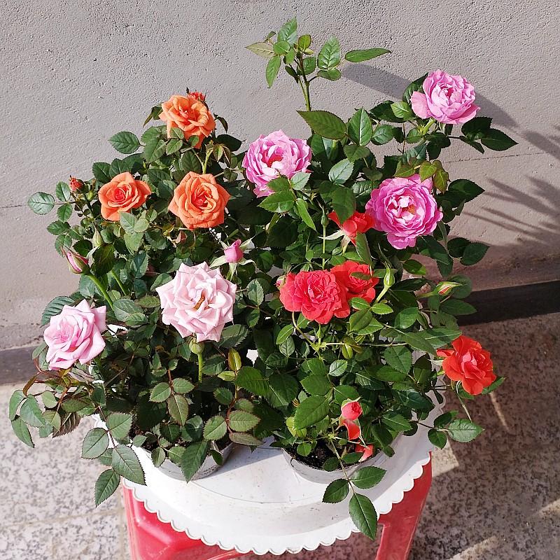 玫瑰花苗大花带花苞绿植物盆栽室内外桌面蔷薇月季花卉观花阳台