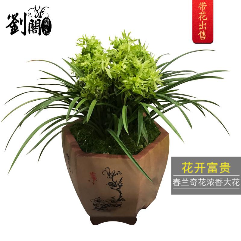 刘阁兰花现带浓香花苞出售 花开富贵春兰奇花兰花苗 好养花卉盆栽