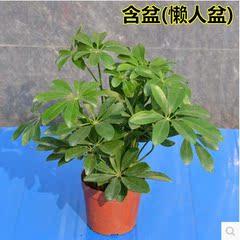 八方来财鸭脚木 客厅木鹅掌柴 办公室内大型鸭掌绿色植物花卉盆栽