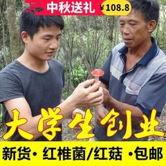 红椎菌红蘑菇正宗100克 2019年新货干货广西浦北红菇野生农家特产