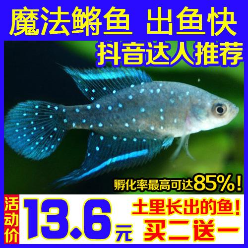 包邮 正品魔法鳉鱼 奇妙鱼 太空鱼卵 土里长出鱼 20-25粒鱼卵抖音