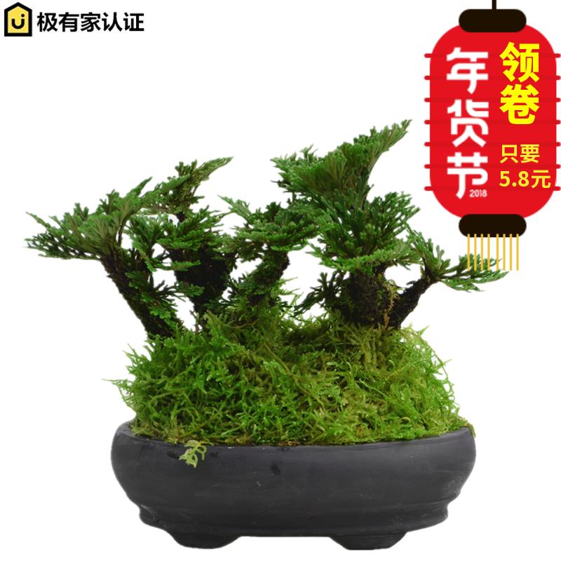 野生卷柏小盆栽盆景菖蒲懒人植物九死还魂草桌面吸水石绿色小植物
