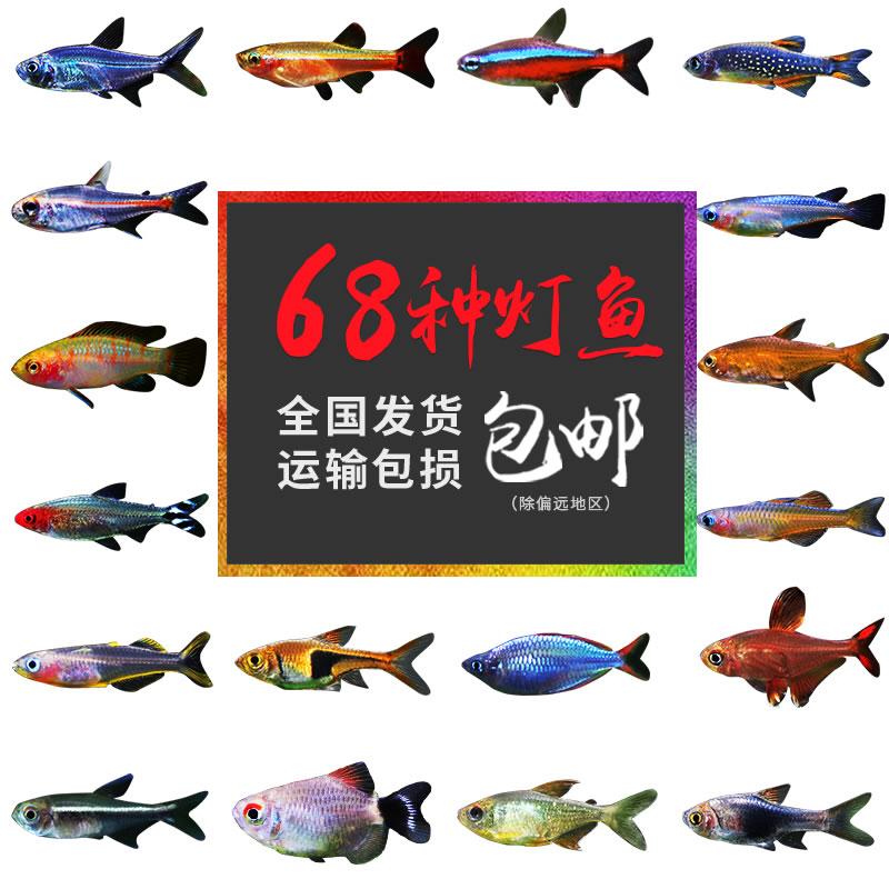 灯科活体热带观赏鱼神仙宝莲灯斑马淡水金鱼清道夫孔雀小型红绿灯