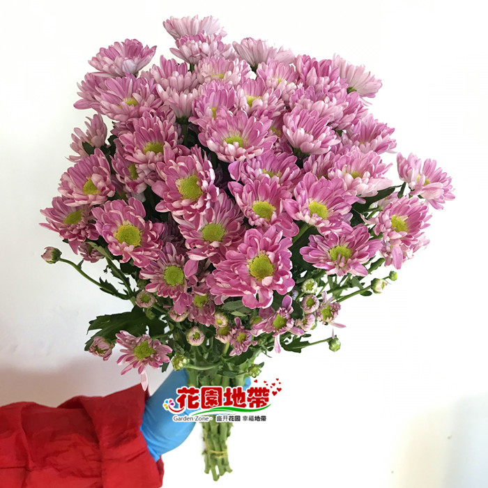 粉色多头菊 贝蕾丝雏菊 一扎10枝长花期 生日家庭插花 北京速递