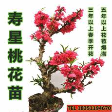 Shouxing peach seedling double-flowered peach flower Shouxin peach potted bonsai peach seedlings evil spirit tree