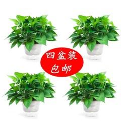 绿萝盆栽室内水培花卉植物吸除甲醛净化空气垂吊大叶长藤大盆绿萝