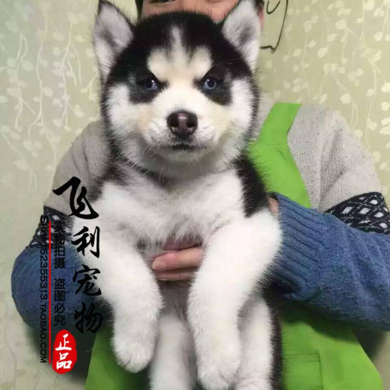 出售纯种哈士奇犬 蓝眼三火哈士奇幼犬 哈士奇犬 赛级哈士奇宠物