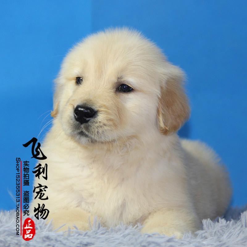 出售纯种金毛犬 大骨架金毛幼犬 金毛寻回犬 金毛导盲犬宠物狗狗