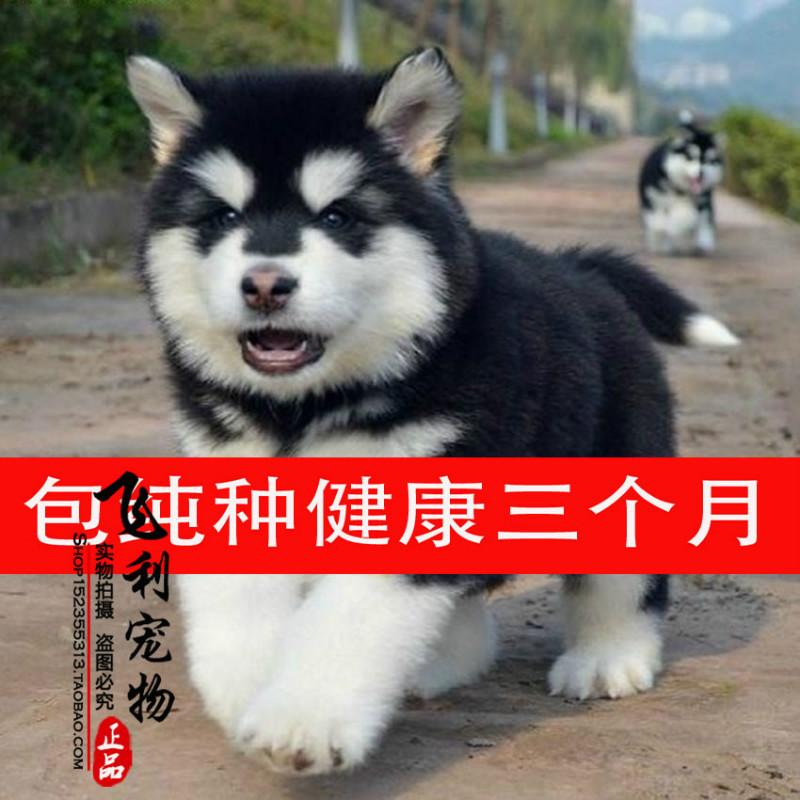 家养纯种阿拉斯加犬 巨型阿拉斯加幼犬 阿拉斯加雪橇犬大型犬阿拉