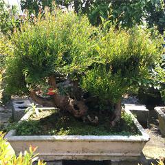 盆景树桩小叶赤楠盆栽 红枫老桩  红花继木盆景  庭院盆景客厅