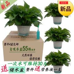 大叶绿萝盆栽苗观叶室内植物长藤水培绿箩吸甲醛垂吊净化空气包邮