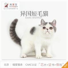 淘宠宝 CAAC缅爱猫舍异国短毛猫宠物猫咪异短幼猫有芯片送保险