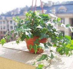 常春藤吊兰植物盆栽花卉金边常青藤装修房除苯净化空气室内绿植