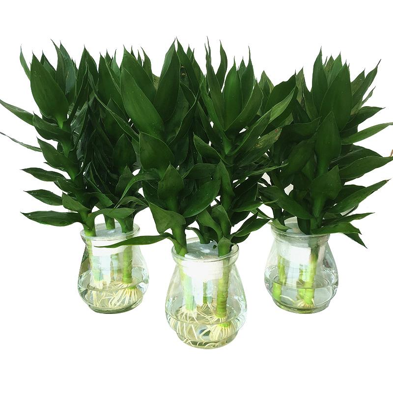观音竹水培植物富贵竹步步高绿植绿萝盆栽室内水养栀子花卉发财树