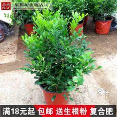 九里香盆景植物树桩室内桌面盆栽绿植花卉 浓香观赏办公室吸甲醛